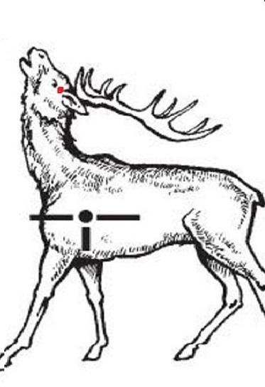 места для выстрела в оленя