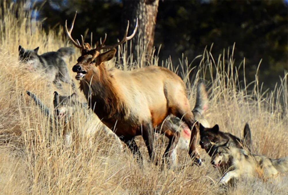 охота на оленя с собаками