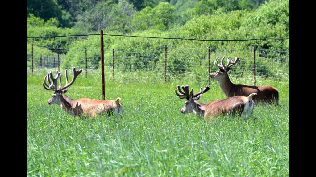 охота на оленя в вольере