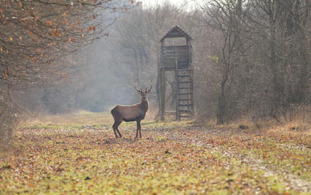 охота на оленя с вышки